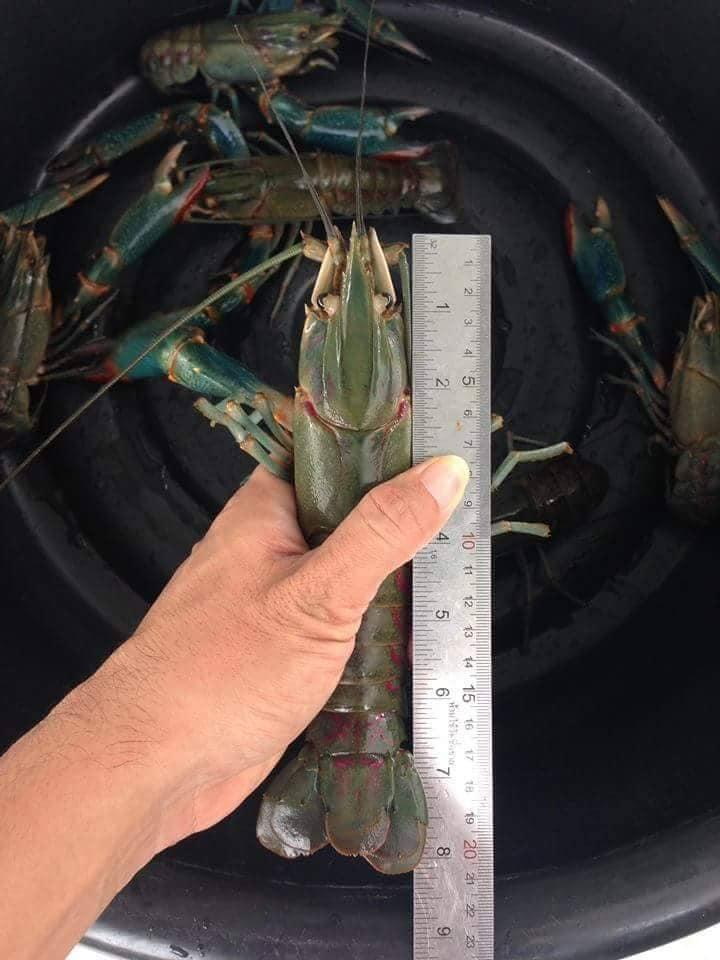 Ternakan Lobster Air Tawar Di Rumah Mampu Jana Pendapatan M Niaga